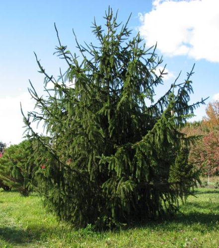 Picea abies Virgata   80-100см