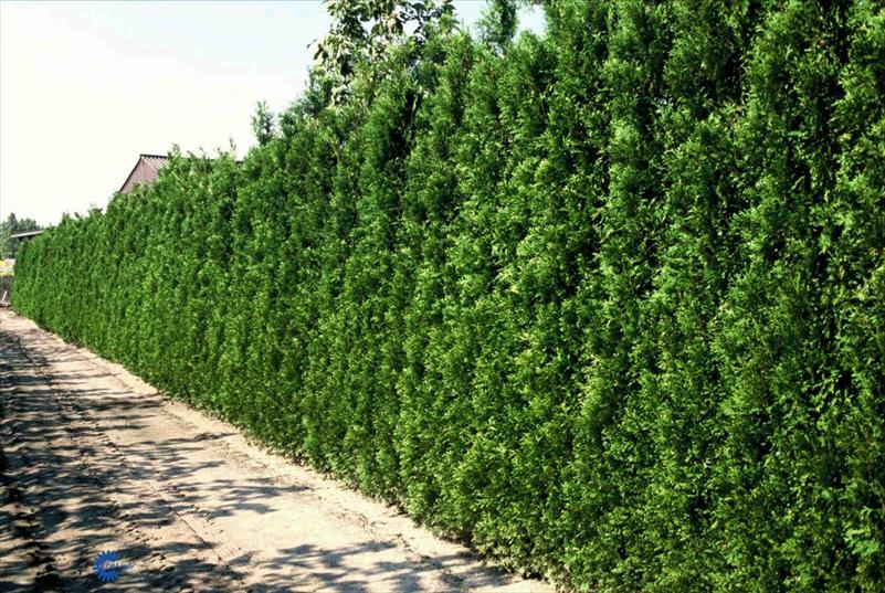 Thuja occidentalis Brabant  175-200см