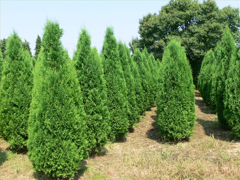 Thuja occidentalis Columna  150-175см