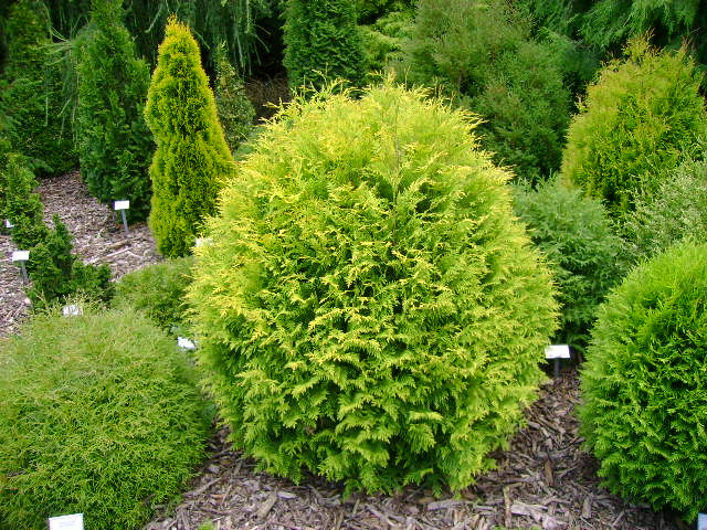 Thuja occidentalis Hoseri  30-40см