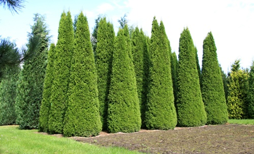 Thuja occidentalis Smaragd  150-175см