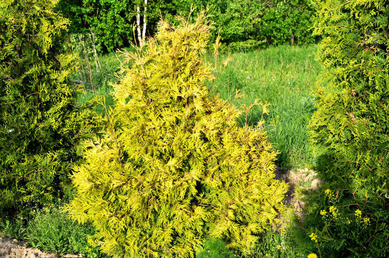 Thuja occidentalis Yellow Ribbon 80-100см