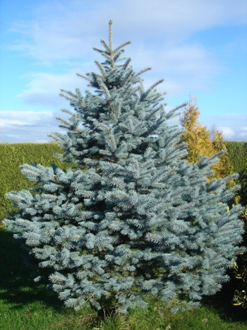 Picea pungens Koster    125-150см
